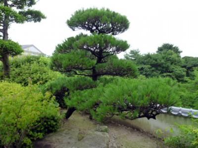 マツ(松)庭木の王者