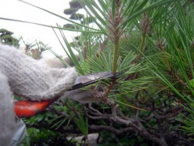 松の芽摘み2