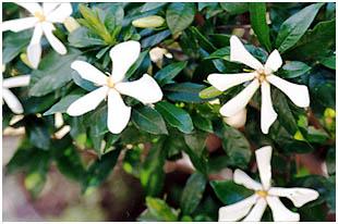 クチナシの花アップ